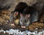 Pakistan: Vấn nạn chuột tại thành phố Peshawar