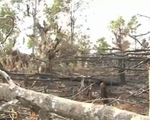 Gia Lai: Hàng trăm hộ dân chặt phá rừng thông