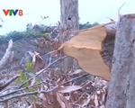 Hơn 100 ha rừng tự nhiên tỉnh Phú Yên bị chặt phá