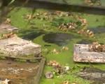 Nam Định: Kinh hoàng sông rác trở thành… nước tưới rau