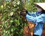 Chất lượng hồ tiêu Việt Nam ngày càng giảm sút