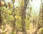 Bình Phước: 3.000ha hồ tiêu mất trắng vì hạn hán