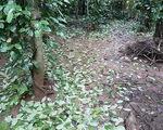Quảng Trị: Tiêu rụng lá hàng loạt vì rét đậm, rét hại