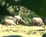 Quảng Trị: Xuất hiện đàn trâu lạ tấn công người