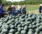 Phú Yên: Nông dân thất thu vụ dưa hấu