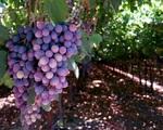 Nghề trồng nho ở Italy sống khỏe