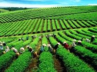 Lâm Đồng khẳng định không có chè nhiễm dioxin