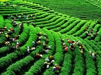 Đài Loan bác tin đồn chè Việt Nam nhiễm dioxin