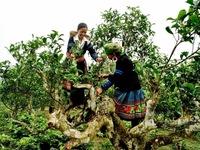 Trà Shan Tuyết - Đặc sản Suối Giàng, Yên Bái