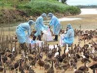 Phát hiện ổ dịch cúm A/H5N1 và A/H5N6 tại Quảng Ngãi