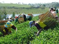Chứng minh Trà Ô Long của Việt Nam không nhiễm dioxin
