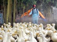 Nguy cơ bùng phát cúm A/H5N1 ở Bạc Liêu