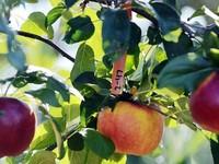 250 giống táo trên... một cây - Chuyện lạ có thật