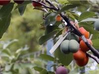 Kỳ lạ loại cây cho thu hoạch 40 loại quả khác nhau