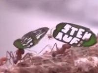 Độc đáo cuộc tuần hành của những chú kiến tí hon