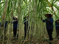 Ngành Mía đường trên đường hội nhập: Cần cơ sở pháp lý cho phát triển