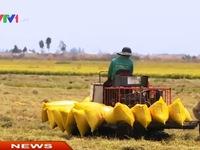 Giá gạo xuất khẩu xuống dưới giá sàn
