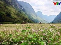 Đẹp nao lòng mùa hoa tam giác mạch ở Hà Giang