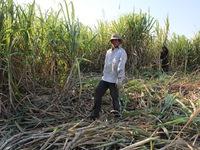 Nông dân nhiều nơi quay lưng với cây mía