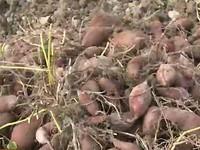 Vĩnh Long: Giá khoai lang giảm mạnh, người dân điêu đứng