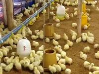 Nghịch lý mỗi con gà gánh hơn… 10 loại phí