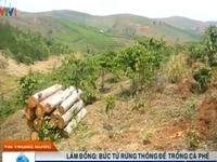 Lâm Đồng: Bức tử rừng thông để trồng cà phê
