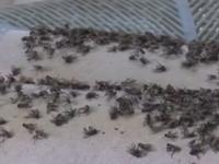 Bình Phước: Người dân khốn khổ vì... ruồi