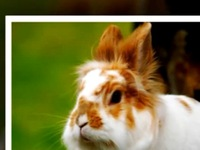 Thỏ sư tử - Thú cưng yêu thích của giới trẻ