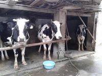 Lâm Đồng: DN giảm thu mua sữa, nông dân điêu đứng