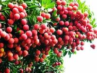 Australia cho phép nhập khẩu quả vải tươi từ Việt Nam