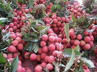 Miễn phí kiểm dịch thực vật cho xuất khẩu vải thiều