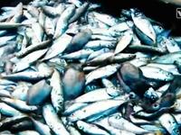 Toàn cảnh vụ việc cá chết bất thường tại miền Trung