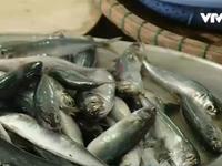 Cà Mau: Lợi dụng thông tin cá chết, thương lái ép giá ngư dân