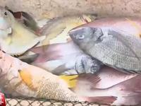 Cá chết hàng loạt dọc bờ biển Quảng Trị