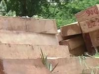 Quảng Nam: Lại phát hiện 164 phách gỗ Pơ mu gần trụ sở BQL khu kinh tế cửa khẩu