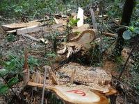 Vụ phá rừng pơ mu ở Quảng Nam: Vì sao chỉ bị phát hiện khi việc đã rồi?