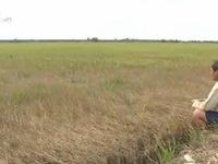 Xâm nhập mặn tấn công, ĐBSCL có nên trồng lúa bằng mọi giá?