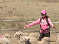 Cuộc đua kỳ thú 2016: Các đội đua làm thổ dân, khổ sở lùa cừu ở Úc