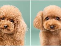 Chết ngất với vẻ đáng yêu của những chú chó sau khi cắt tỉa lông
