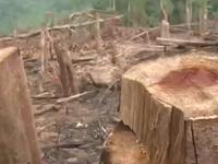 Mất rừng vì... lâm tặc nhờn luật