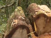Thủ tướng yêu cầu báo cáo vụ phá rừng pơ mu ở Quảng Nam trước 25/8