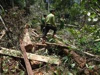 Nhìn từ vụ phá rừng Pơ mu ở Quảng Nam: Rừng có chủ như... vô chủ