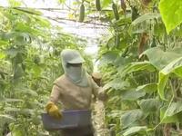 Lâm Đồng đảm bảo cung ứng rau cho thị trường Tết