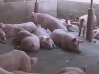 Thất thoát salbutamol sang chăn nuôi: Do ngành y tế quản lý lỏng lẻo