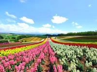 Thế giới thần tiên ở đồi hoa mùa hè Shikisai, Nhật Bản