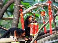 Vườn thú Singapore chuẩn bị Tết Nguyên đán sớm