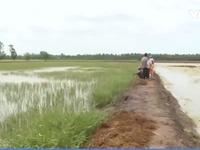 Kiên Giang: Mâu thuẫn con tôm - cây lúa do chính quyền lúng túng trong quy hoạch