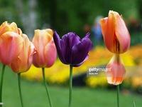 Cách phân biệt một số loài hoa nội và hoa nhập ngoại