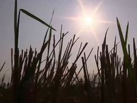 Bỏ hoang ruộng, bán vịt non, nông dân điêu đứng vì nước mặn chưa từng có