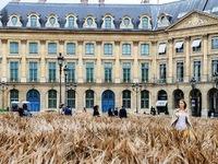 Cánh đồng lúa mì giữa thủ đô Paris hoa lệ